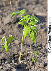 tomato sprout - young tomato sprout on ground background