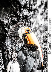 toucan outdoor - Ramphastos toco ( HDR image )