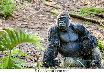 Gorilla sitting in the jungle - large gorilla sitting on the...