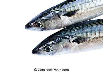 Mackerel - Two fresh mackerel isolated over white background