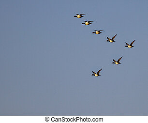 A gaggle of Canadian Geese who have been migrating south...