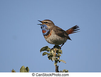 The male Bluethroat singing in the bush willow. - The male...