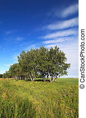 Russian birch trees on the a green meadow.