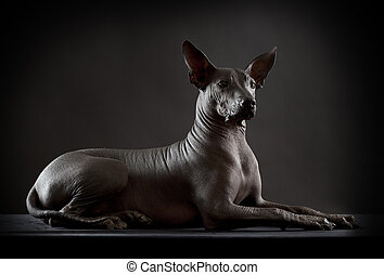 Hairless xoloitzcuintle dog on low key photo - Mexican...