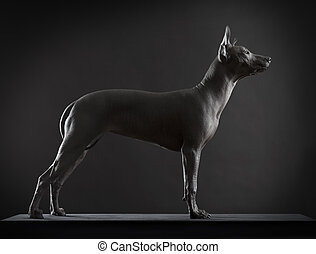 Xoloitzcuintle dog on low key photo - Mexican xoloitzcuintle...