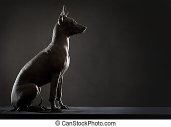 Mexican xoloitzcuintle dog sitting against black background...