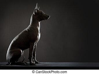 mexicano, xoloitzcuintle