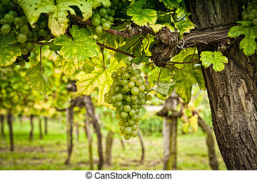 Vineyard with White Grapes, taken in Lower Austria