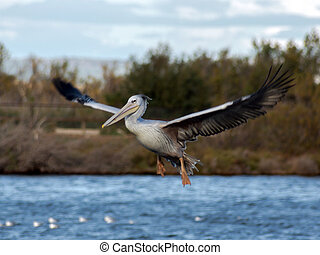 White pelican on the lake in Sigean zoo