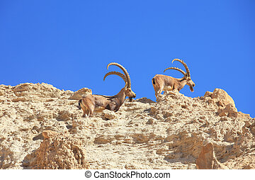 A herd of wild goats, with horns grazing - A herd of wild...