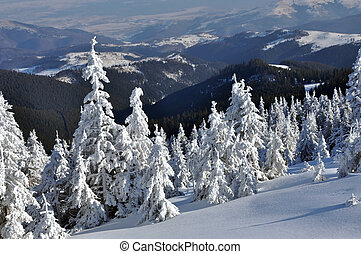 Snow-covered spruces in the mountains in a sunny day