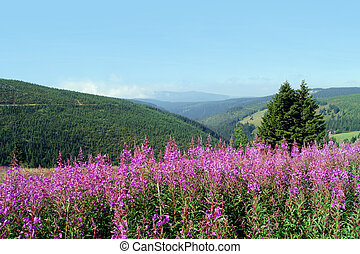 Mountain landscape with fireweed meadow, Chamerion...