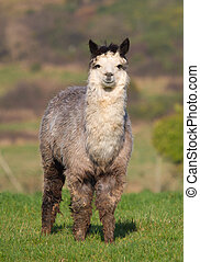 Male Alpaca in field - An alpaca resembles a small llama in...