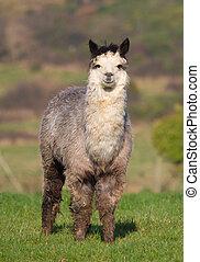 Male Alpaca in field - An alpaca resembles a small llama in...