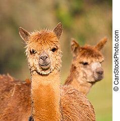 Piar of brown Alpacas