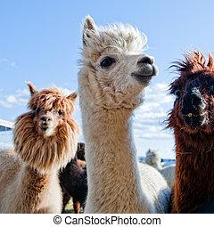 tres, divertido, alpacas
