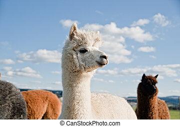 White Alpaca in a Herd of brown Alpacas