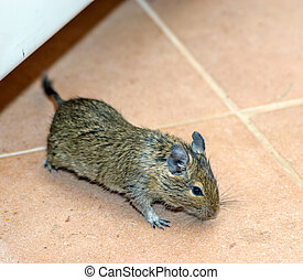Home mouse running on the floor