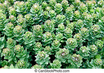 Rhodiola rosea - The texture of the plant Rhodiola Rosea...