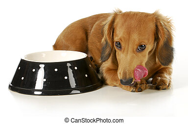 feeding the dog - miniature dachshund licking lips after...