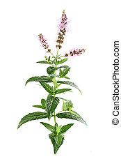 Beauty flowers of mint