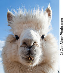 Head of a white Alpaca