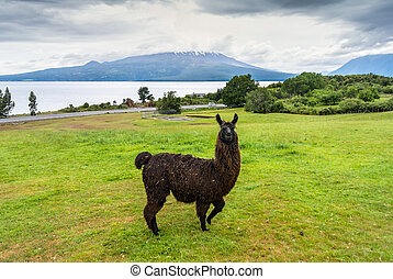 Alpaca and Osorno Volcano on a cloudy day, Chile - Alpaca...
