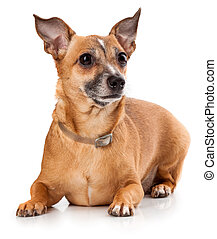 toy terrier - Russian toy terrier is a mini dog