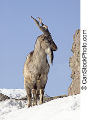 Young male markhor in the Moscow zoo