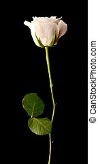 Single white rose on black - Single white rose on a black...