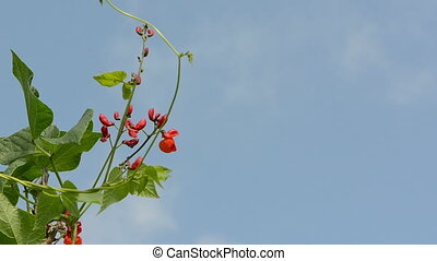 red bean bloom move sky - bean blooms and leaves move in...