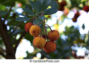 Arbutus - A bunch of arbutus in the tree.