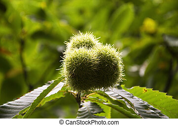 Chestnut - A chestnut in the tree.