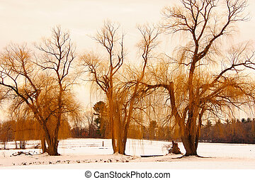 Wisconsin Winter Willows - Bright Yellow Willows Against...