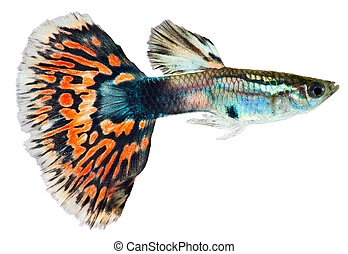 Guppy, peixe, (Poecilia, reticulata)