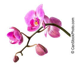 rosa, orquídea, blanco