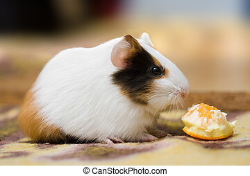Guinea pig - Cute guinea pig sitting and eating orange