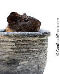 Guinea pig in pot - Black guinea pig looking out from a clay...