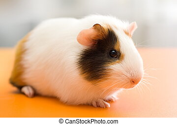 Guinea pig - Cute guinea pig sitting on orange surface