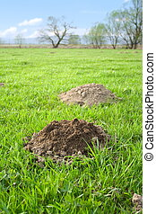 Molehills - Fresh molehills at meadow in the morning