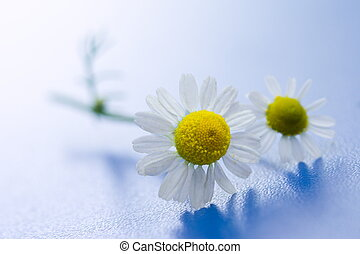 Chamomile flower macro on blue surface