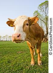 ciekawy, krowa