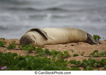 Monk Seal - The monk seal is an endangered species and...