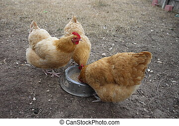 Chickens Eating - Backyard buff orpington chickens eating...