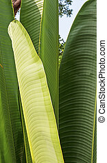 Bunch of banana leaves - Vertical - Banana leaves -...