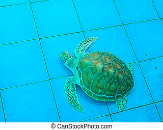 green turtle or Chelonia mydas