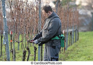 Vintner is pruning in the vineyard - Young Vintner pruning...