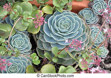 Hens and Chicks Plant - Hens and Chicks (Houseleek) Plant