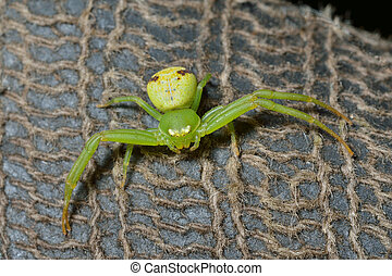 Green spider 5 - A close up of the small green spider.