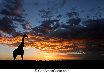 African sunset landscape - A giraffe silhouetted against a...